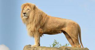 صور تعريف حيوان الاسد بالفرنسية