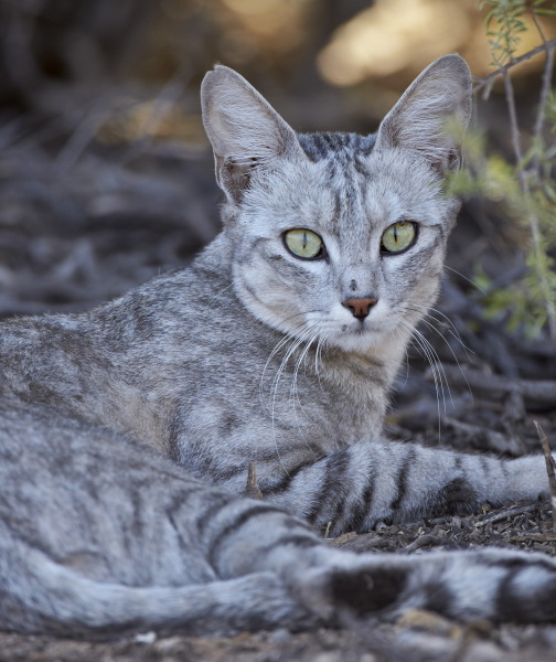 صورة حقائق لا تعرفها عن القطط موجودة في كل قط وقطة