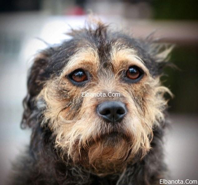 بالصور انواع الكلاب و اسعارها واسمائها سواء الاليفة او المتوحشة ومعلومات عن كل كلب بالصور 153 5