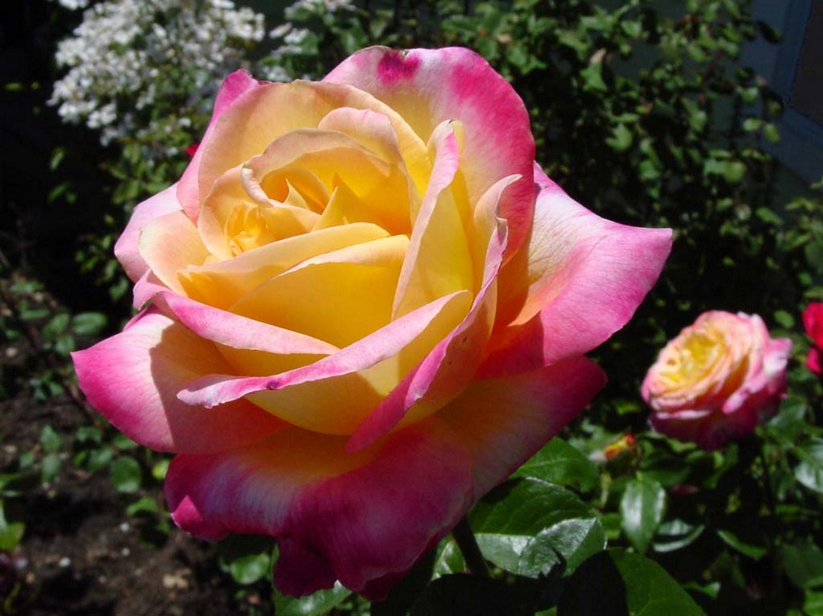 بالصور تحميل صور ورد مجانا , اجمل صور الازهار الراقية 349 4