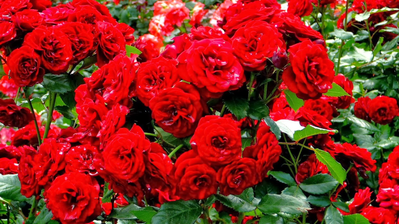 بالصور تحميل صور ورد مجانا , اجمل صور الازهار الراقية 349 7