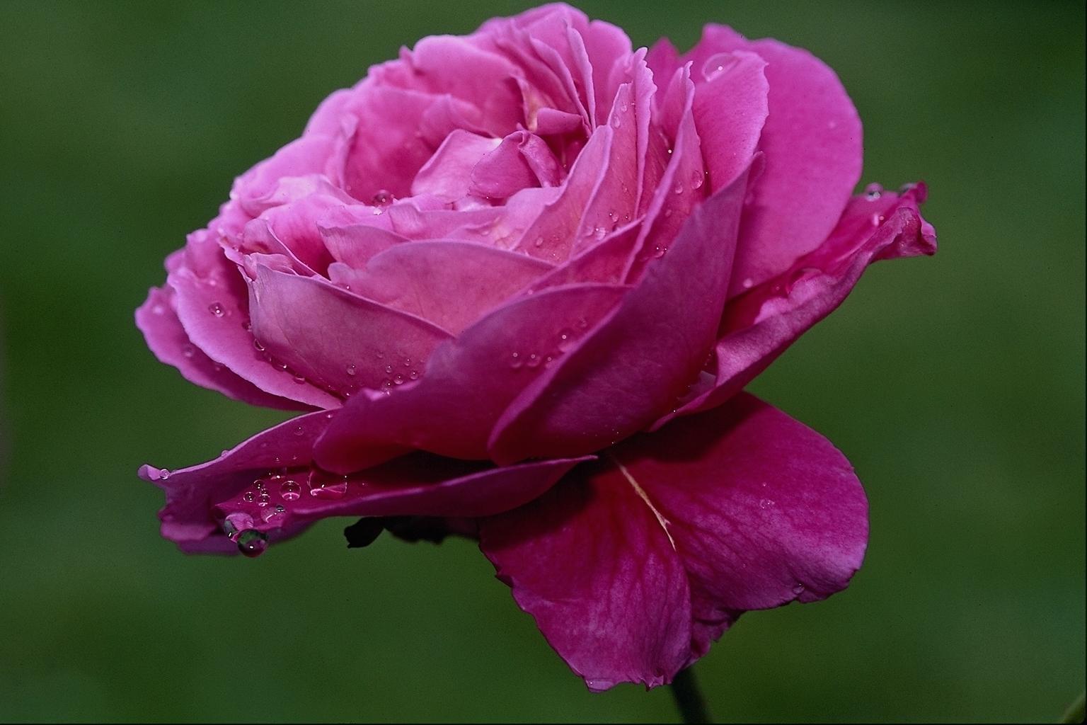 بالصور تحميل صور ورد مجانا , اجمل صور الازهار الراقية 349 8