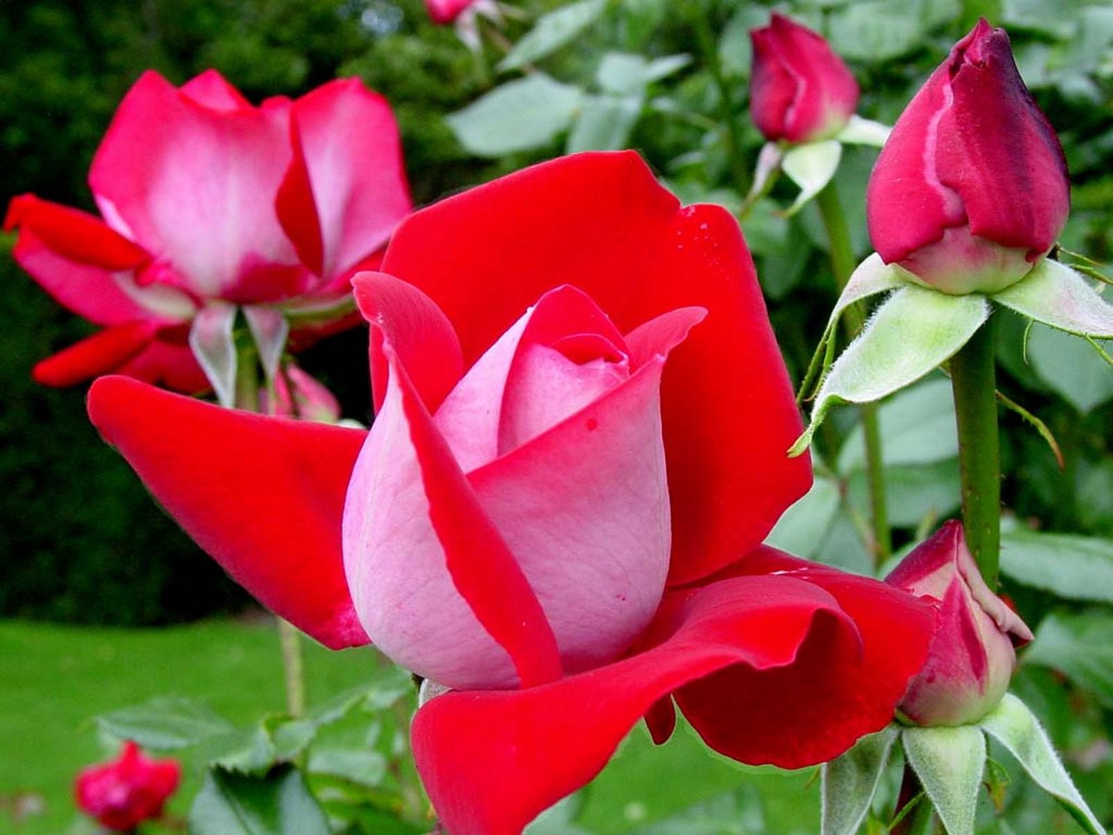 صوره تحميل صور ورد مجانا , اجمل صور الازهار الراقية