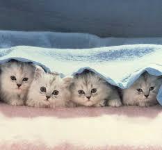 صوره القطط الكثيرة في المنام , رؤية القطط فى الحلم