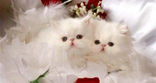 القطط الكثيرة في المنام , رؤية القطط فى الحلم