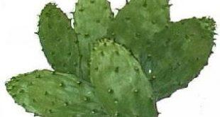 بالصور تفسير رؤية الصبار في المنام لابن سيرين , رؤية نبات الصبار فى الحلم 443 3 310x165