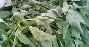 صوره تفسير حلم الملوخية الخضراء , معني الخضرة في المنام