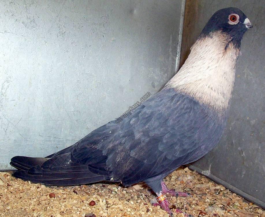 بالصور صور الحمام افضل صورة حمامة , اشكال متنوعة لطيور الحمام 1045 2