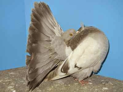 بالصور صور الحمام افضل صورة حمامة , اشكال متنوعة لطيور الحمام 1045 3
