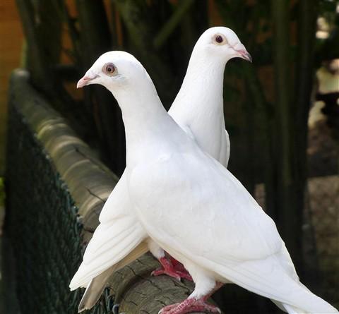 بالصور صور الحمام افضل صورة حمامة , اشكال متنوعة لطيور الحمام 1045 4