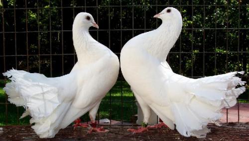 بالصور صور الحمام افضل صورة حمامة , اشكال متنوعة لطيور الحمام 1045 5