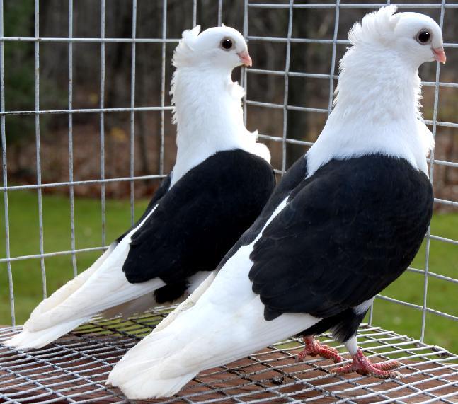بالصور صور الحمام افضل صورة حمامة , اشكال متنوعة لطيور الحمام 1045 6