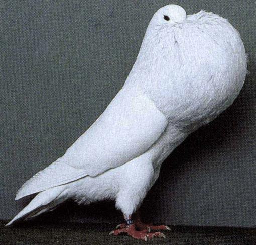 بالصور صور الحمام افضل صورة حمامة , اشكال متنوعة لطيور الحمام 1045 7