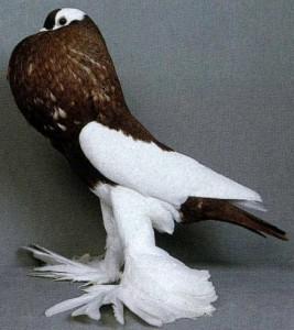 بالصور صور الحمام افضل صورة حمامة , اشكال متنوعة لطيور الحمام 1045 8