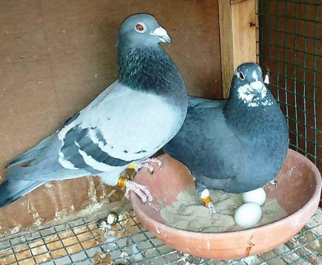 بالصور صور الحمام افضل صورة حمامة , اشكال متنوعة لطيور الحمام 1045 9
