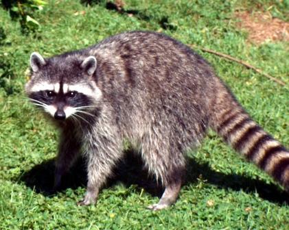 بالصور الحيوانات اللتي تبدا بحرف ر الراء , وكل حيوان اول حرف منه راء 122 1
