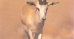بالصور الحيوانات اللتي تبدا بحرف ر الراء , وكل حيوان اول حرف منه راء 122 5 310x165