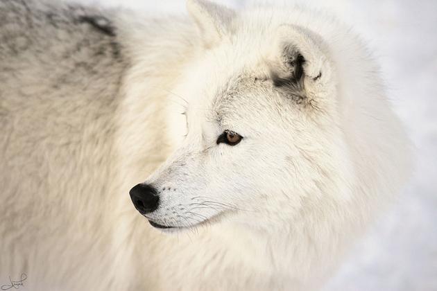 بالصور صور ذئب ابيض , جمال و قوة ياخدوا العقل 1611 1
