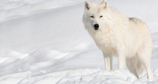 صور ذئب ابيض , جمال و قوة ياخدوا العقل