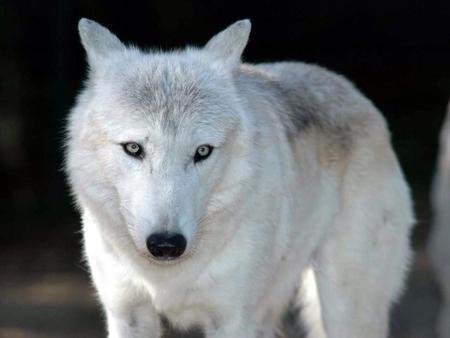 بالصور صور ذئب ابيض , جمال و قوة ياخدوا العقل 1611 2