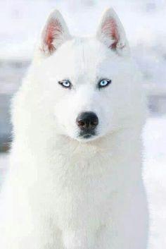 بالصور صور ذئب ابيض , جمال و قوة ياخدوا العقل 1611 4