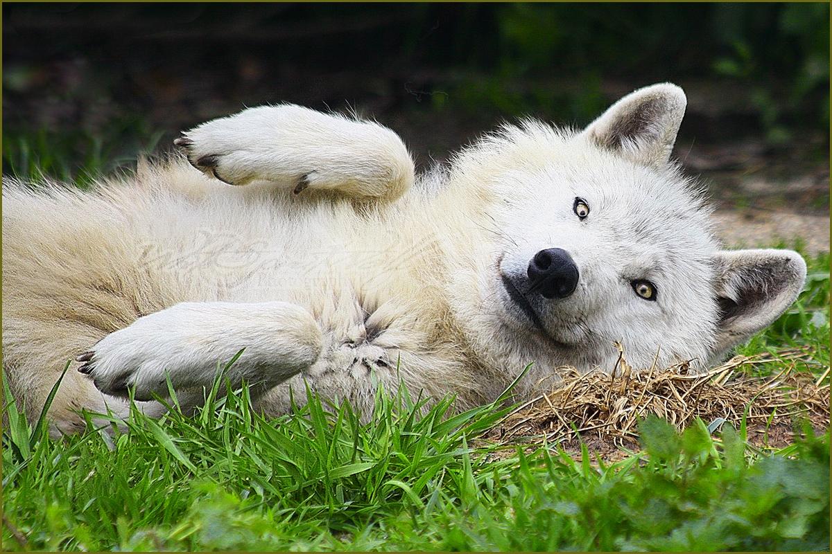 بالصور صور ذئب ابيض , جمال و قوة ياخدوا العقل 1611 5