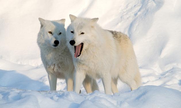 بالصور صور ذئب ابيض , جمال و قوة ياخدوا العقل 1611 6
