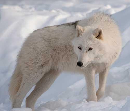 بالصور صور ذئب ابيض , جمال و قوة ياخدوا العقل 1611 7