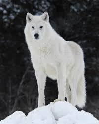 بالصور صور ذئب ابيض , جمال و قوة ياخدوا العقل 1611 8