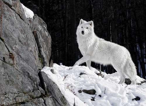 بالصور صور ذئب ابيض , جمال و قوة ياخدوا العقل 1611 9
