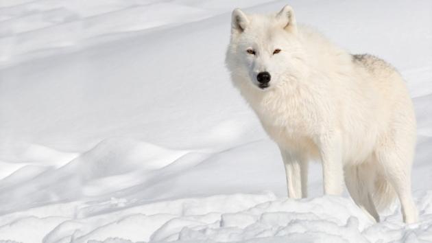 بالصور صور ذئب ابيض , جمال و قوة ياخدوا العقل 1611