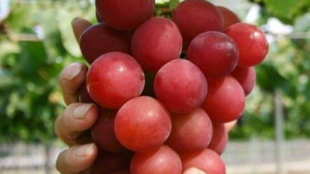 بالصور صور عنقود عنب , شوف جمال الفاكهة الصيفية اللذيذة 1626 5