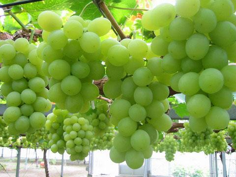 بالصور صور عنقود عنب , شوف جمال الفاكهة الصيفية اللذيذة 1626 8