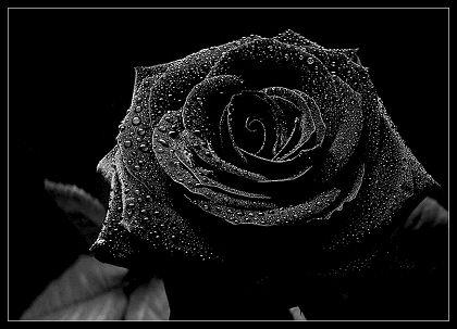 صورة صور ورده سوداء , الكابة و التشاوم ممزوجين بجمال الازهار