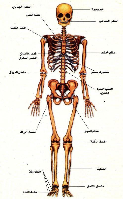 بالصور صور جسم الانسان , تامل عظمة القادر و تركيب البشر المعقد 1895