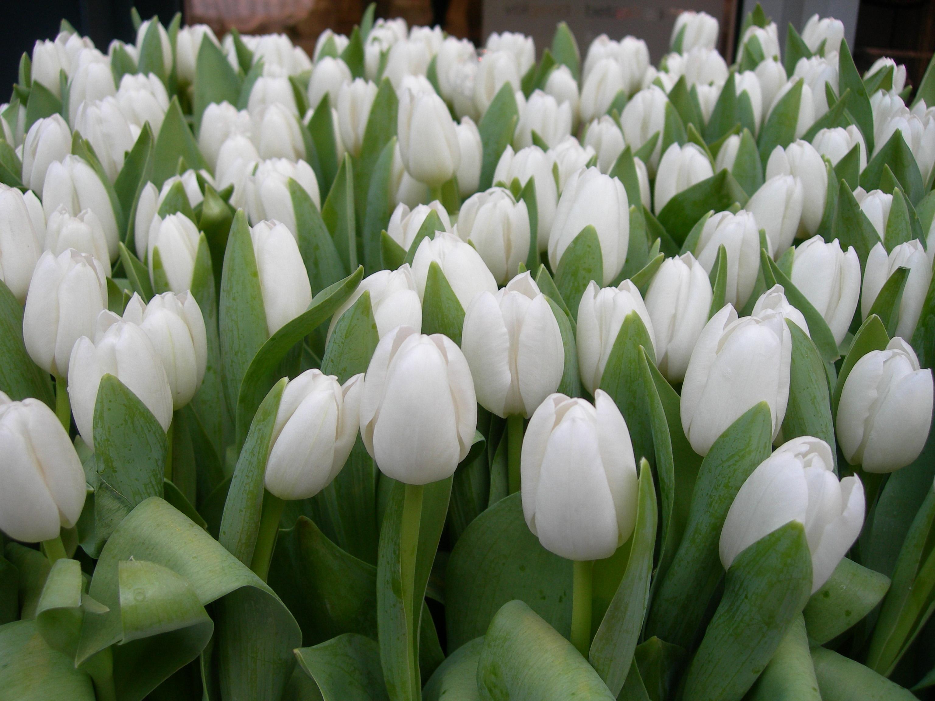 صوره صور ورود بيضاء , زهرات بلون الابيض تخبل