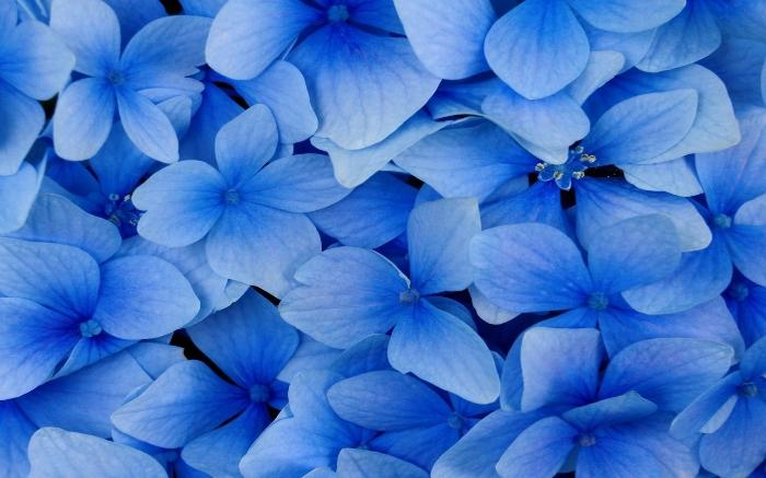 بالصور صور ورد ازرق , جمال الازهار بلون جديد 2471 6