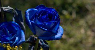 صور ورد ازرق , جمال الازهار بلون جديد