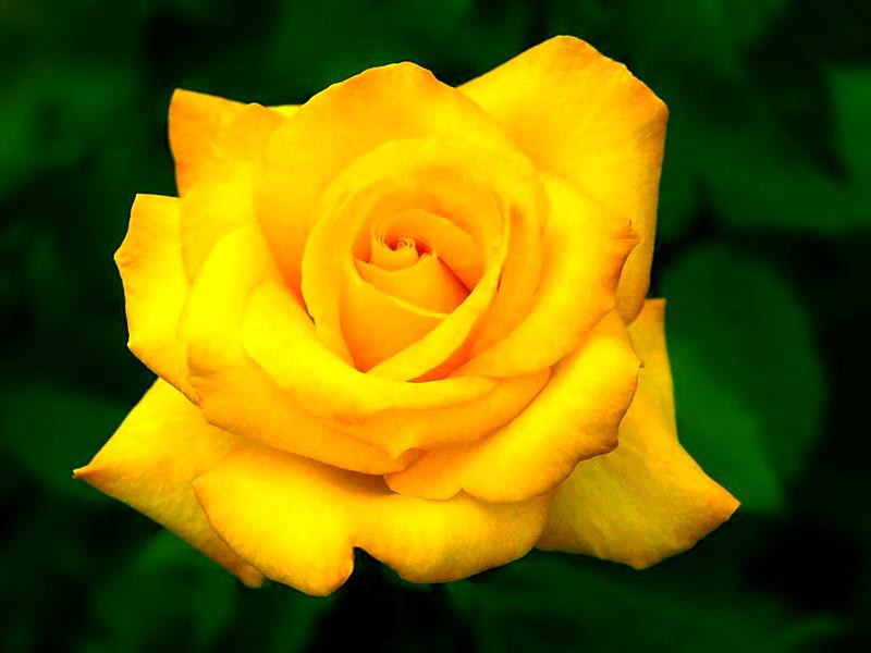 بالصور صور اجمل الورود , ابعت لحبايبك بوكية ازهار يجنن 2660 6