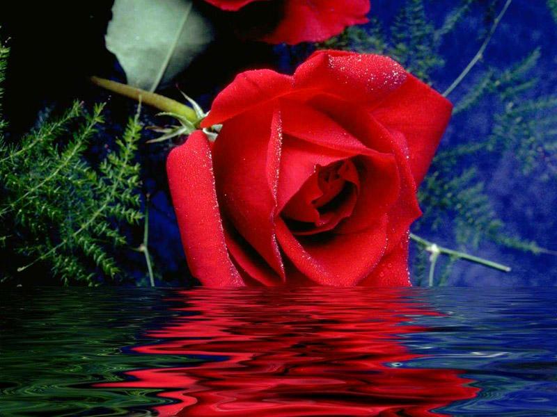 بالصور صور اجمل الورود , ابعت لحبايبك بوكية ازهار يجنن 2660 7