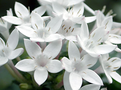 بالصور صور ورد الياسمين , تالقي بعقد من اجمل الزهور البيضاء 2707 2