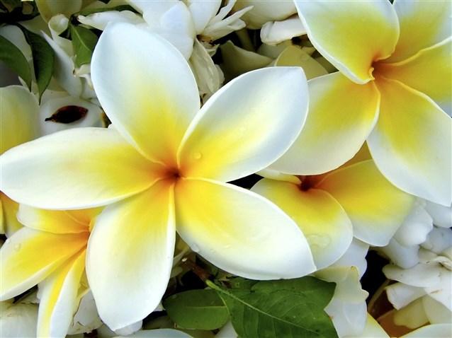 بالصور صور ورد الياسمين , تالقي بعقد من اجمل الزهور البيضاء 2707 5