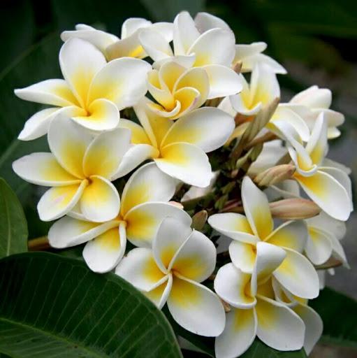 بالصور صور ورد الياسمين , تالقي بعقد من اجمل الزهور البيضاء 2707 6