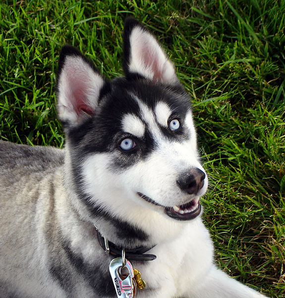 صوره صور كلاب الهاسكي , بوستات للكلاب مميزة