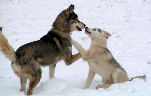 بالصور صور كلاب الهاسكي , بوستات للكلاب مميزة 1811 5
