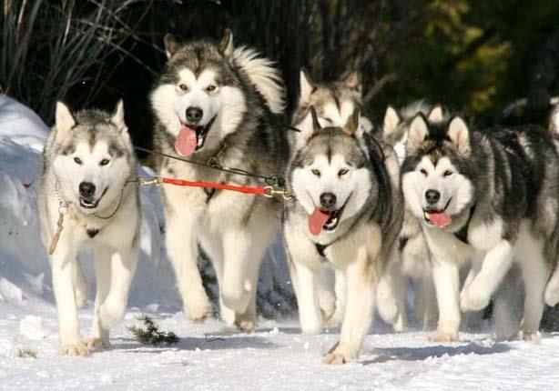 بالصور صور كلاب الهاسكي , بوستات للكلاب مميزة 1811 7
