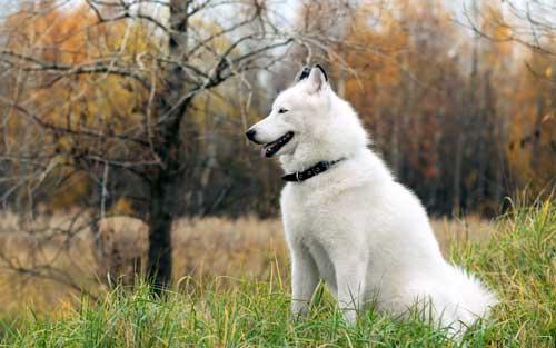 بالصور صور كلاب الهاسكي , بوستات للكلاب مميزة 1811 8