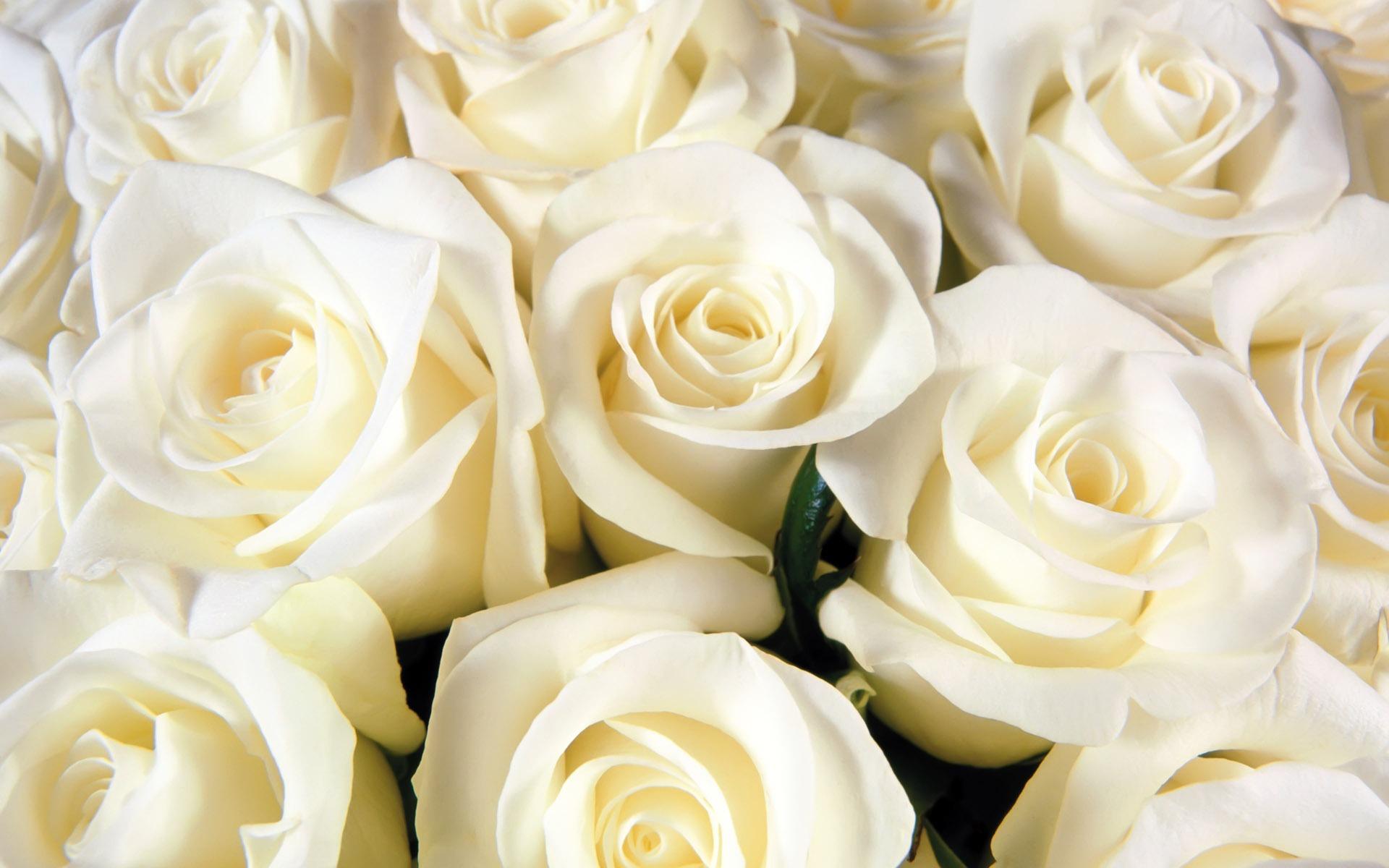 بالصور صور ورد طبيعي , ياجمال الورد وحلاوتة محدش شاف زية 1881 10
