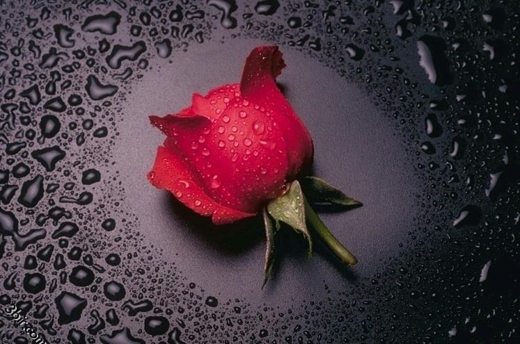 بالصور صور ورد طبيعي , ياجمال الورد وحلاوتة محدش شاف زية 1881 2
