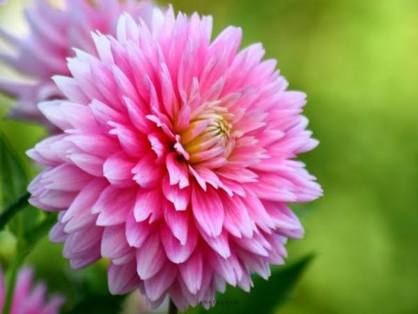بالصور صور ورد جميل جدا , اروع ما شافت عيني من الزهور 2009 6